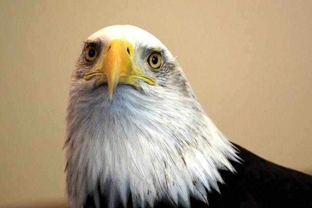 Liberty the Bald Eagle will be on display at the Wildlife Festival. Photo by Kay Burkett
