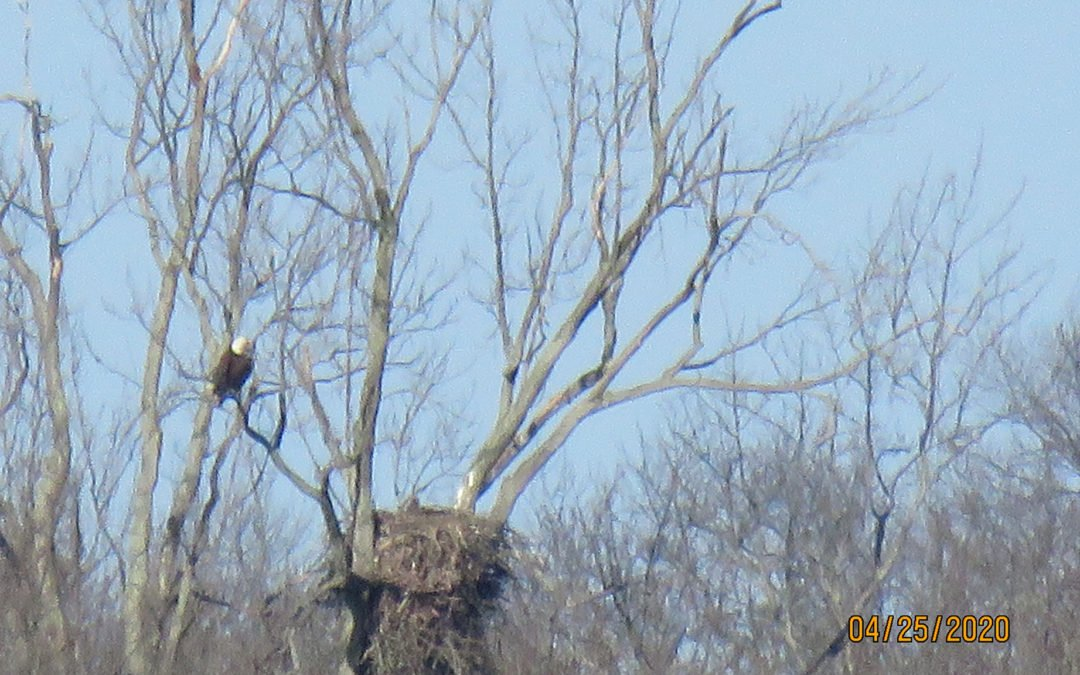 Bald Eagle nesting update April 29, 2020