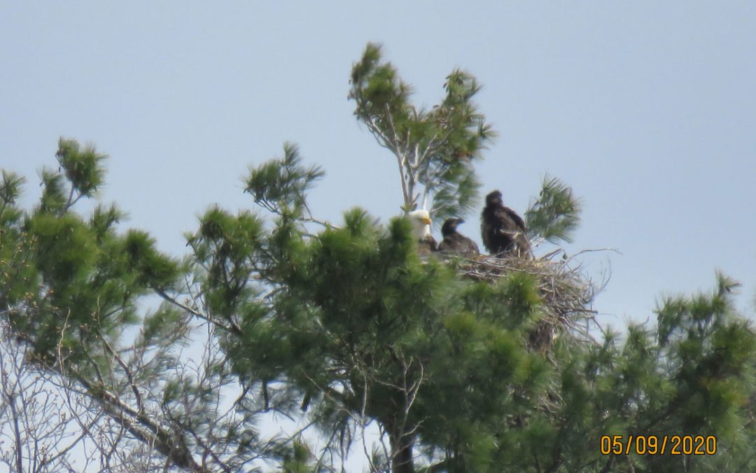 Bald Eagle nesting update May 11, 2020